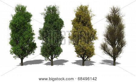 Quercus Robur 'fastigiata' (four Seasons)