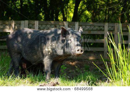 pig little black 4