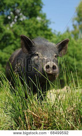 pig little black 2