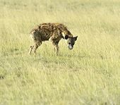 stock photo of hyenas  - African hyenas in Amboseli National Park  - JPG