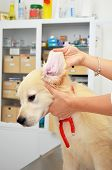 image of vets surgery  - Golden retriever at vets having his ears checked - JPG