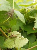 stock photo of baby spider  - A mother spider guarding it s babies from a leaf