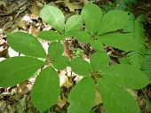 picture of ginseng  - This is a four prong ginseng plant with green immature berries - JPG