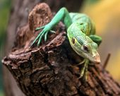stock photo of monitor lizard  - Emerald Tree Monitor Varanus prasinus climbing on tree stump - JPG