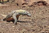 image of komodo dragon  - Komodo Dragon in wildlife running among the rocks  - JPG