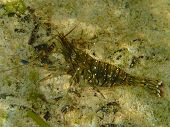 picture of crustaceans  - A sea crustacean walking on the sea bottom - JPG