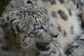 picture of panthera uncia  - Snow leopard at the zoo in Zurich - JPG