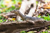stock photo of monitor lizard  - The single water monitor lizard in forest - JPG