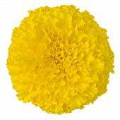 stock photo of marigold  - Close - JPG