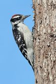 stock photo of woodpecker  - Downy Woodpecker (Picoides pubescens) on a branch with a blue background