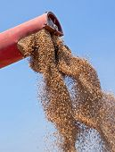 stock photo of combine  - Combine harvester unloads freshly harvested wheat grains - JPG