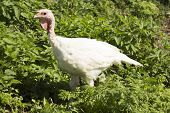 pic of glass-wool  - Little white turkey in the green grass - JPG