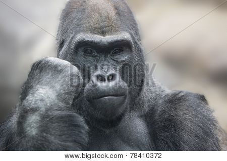 Portrait of a gorilla male, severe silverback close up.