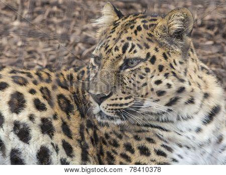 Portrait of a leopard