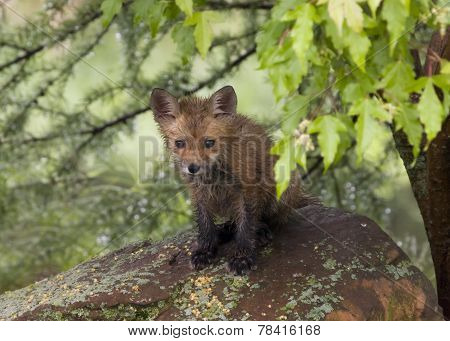 Baby Red Fox on a Rock