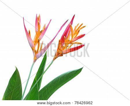 Heliconia Latispatha Flower