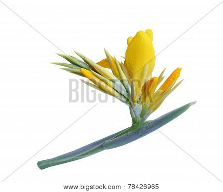 Yellow Canna Indica Flower