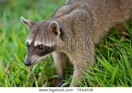 Raccoon sneaking through the grass.