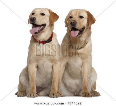 Two Labrador Retrievers, 2 Years Old And 11 Months Old, Sitting In Front Of White Background
