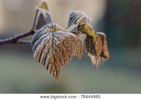 Raspberry Leaves In December Sun Morning