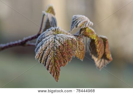 Raspberry Leaves In December Sun Morning With Hoar Frost