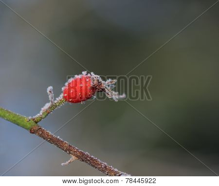 Frozen Rose Hip  In December Sun Morning
