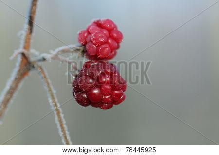 Frozen Raspberry  In December Sun Morning