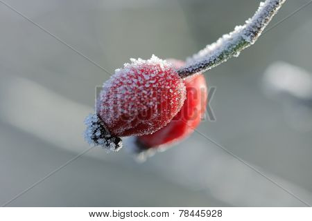 Frozen Wild Rose Hips  In December Sun Morning