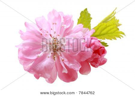 Flower Of  Oriental Cherry