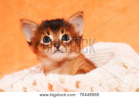 Little Kitten Inside Hat