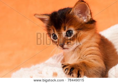 Cute Kitten With Paw