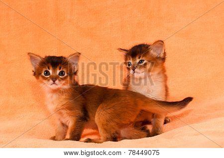 Cute Somali Kittens