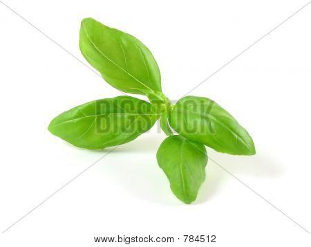 Aromatic basil