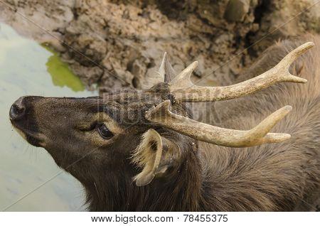 Deer indian sambar