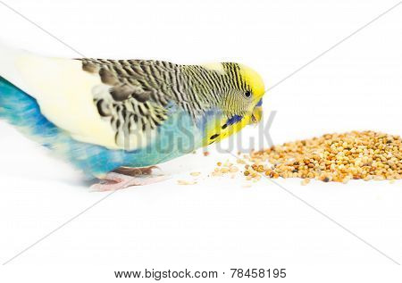 Hungry Budgie