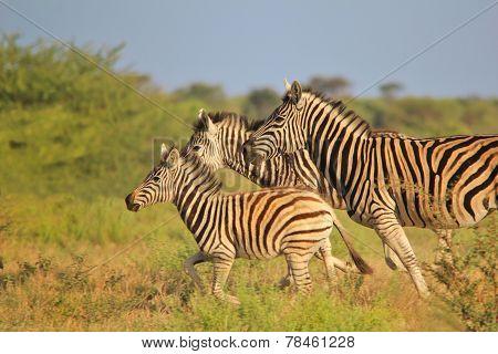 Zebra - Running Free - African Wildlife