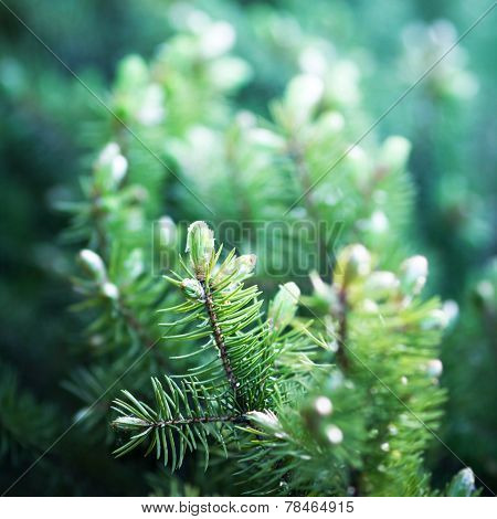 Background Of Christmas Tree Branches. Fir Tree Background