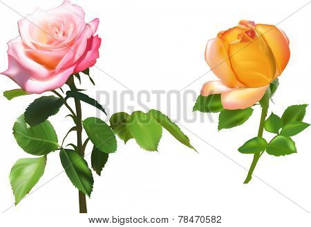 illustration with orange and pink rose flowers isolated on white background
