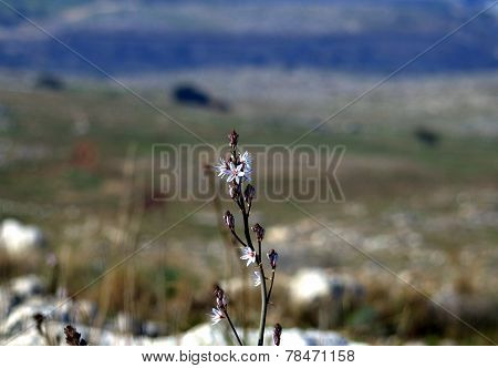 Samaria flowers