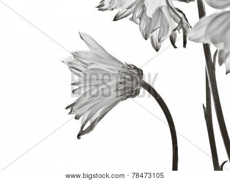 Elegant daisy flowers on white background - black and white treatment.