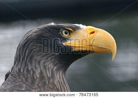 Steller's sea eagle (Haliaeetus pelagicus).