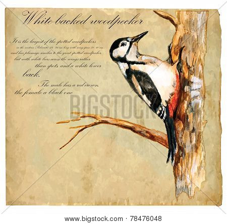 Hand Painted Illustration (vector), Bird: Woodpecker