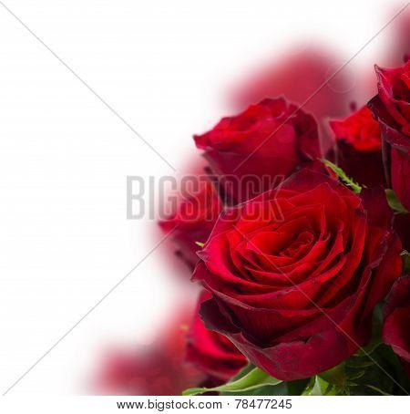 scarlet red roses