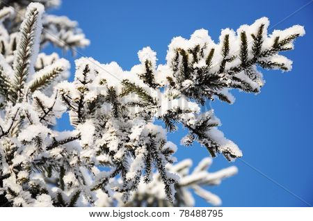 Firtree Branch In Snow