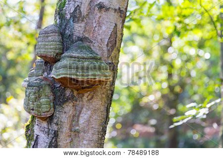 False Tinder Fungus Or Fomes Fomentarius