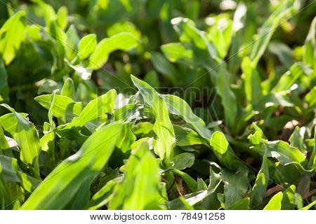 Greensward, Grass