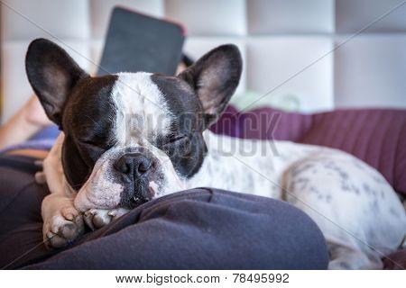 Adorable French bulldog lying on knees