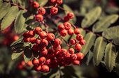 foto of rowan berry  - Red berries on a mountain ash or rowan tree - JPG