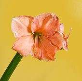 stock photo of belladonna  - Single Amaryllis belladona  - JPG