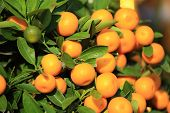 stock photo of tangerine-tree  - closeup of citrus fruits grow on tree  - JPG